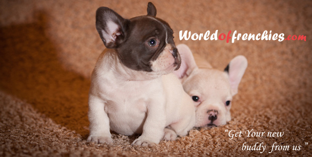 French Bulldogs AKC Registered | World of frenchies
