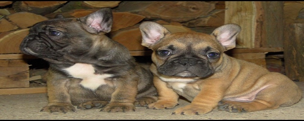 Blue French Bulldog Breeders | French Bulldogs for Sale