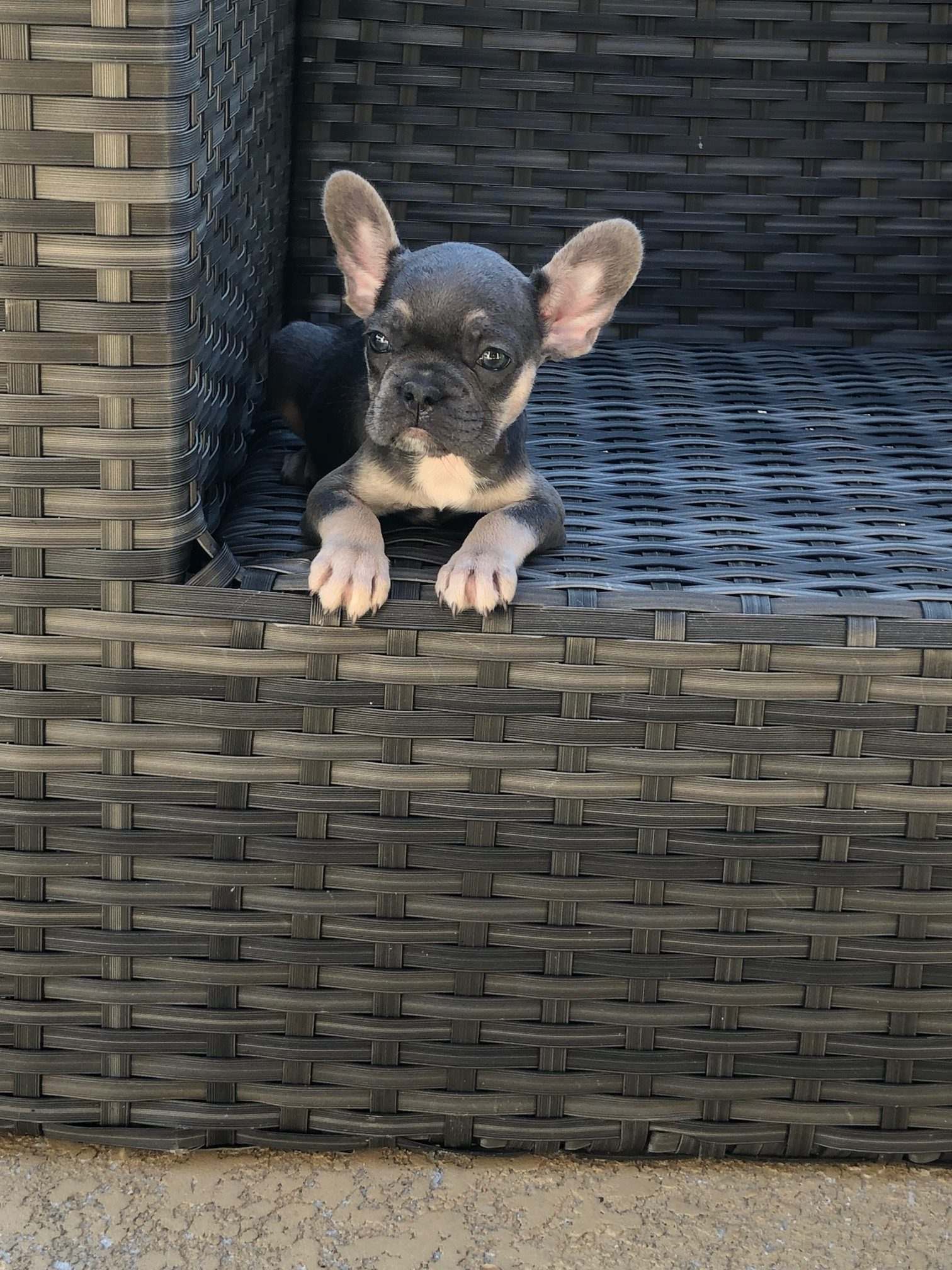 Available French Bulldog Puppies for Sale